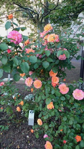 オレンジやピンクなど色とりどりなアンネのばら